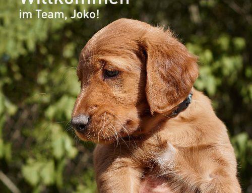 """Golden Retriever """"Joko"""" verstärkt unser Team"""